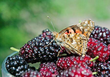 Fresh ripe mulberries. Beautiful butterfly sitting on ripe berries. Summer berries.