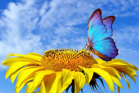 bright blue morpho butterfly sitting on a sunflower against a blue sky. butterfly on a flower