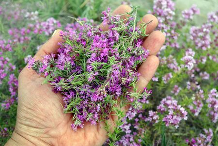 thyme. collecting herbs. man collects plant thymus. alternative herbal medicine. Imagens