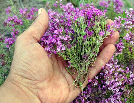 tomillo. recolectando hierbas. el hombre recoge el timo de la planta. medicina alternativa a base de hierbas.