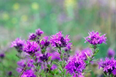 blooming thyme close up. medicinal herbs