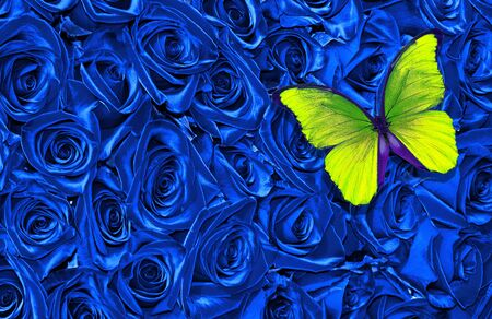 blue floral texture background. Blue rose background. Yellow morpho butterfly on a blue roses. Top view