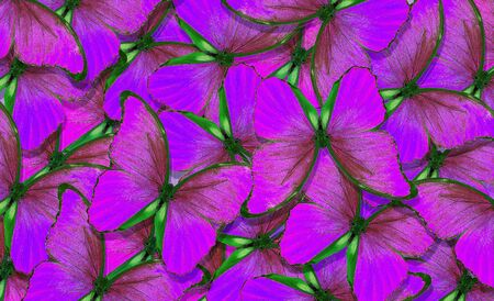 Soft purple natural textural background. Wings of a butterfly Morpho. Flight of bright butterflies abstract background.
