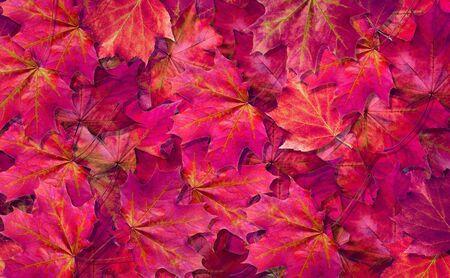 natural purple background. fallen autumn maple leaves texture background. top view. 版權商用圖片