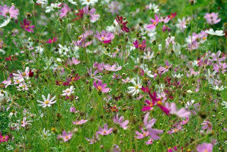 cosmos flowers in the garden. floral background 版權商用圖片