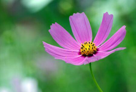Cosme flowers in the garden.