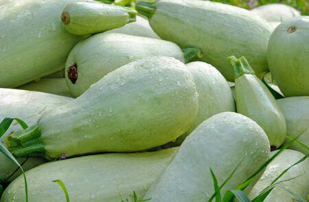 fresh ripe zucchini close up. harvest of zucchini 版權商用圖片