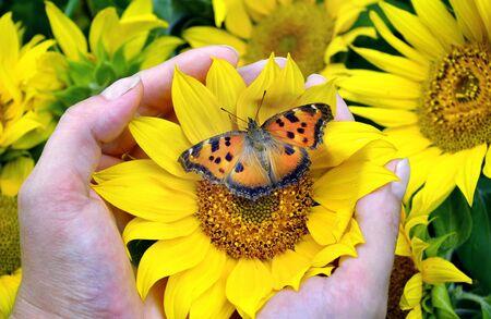 bright orange butterfly sitting on a sunflower. sunflower flowers in hands. large tortoiseshell butterfly. 版權商用圖片