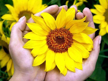 sunflower flowers in hands. top view 版權商用圖片
