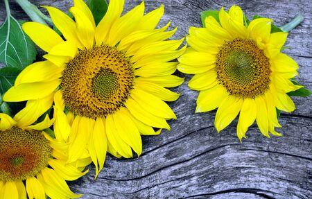 sunflower flowers on wooden table. top view. 版權商用圖片