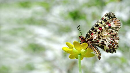 beautiful butterfly on a yellow flower. spring butterflies. southern festoon. copy spaces.