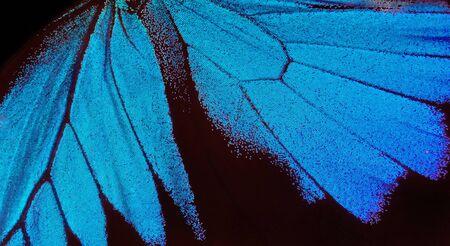 Ali di una farfalla Ulisse. Ali di una farfalla texture di sfondo. Avvicinamento.