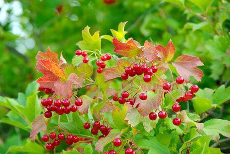 Red ripe viburnum. Viburnum bush close-up 版權商用圖片