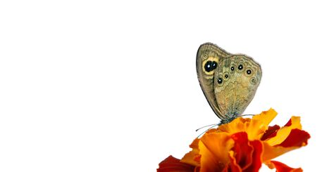 beautiful butterfly sitting on a flower isolated on white. copy spaces