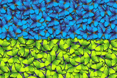Ukrainian flag. Independence Day of Ukraine. Blue and yellow butterflies morpho texture background.
