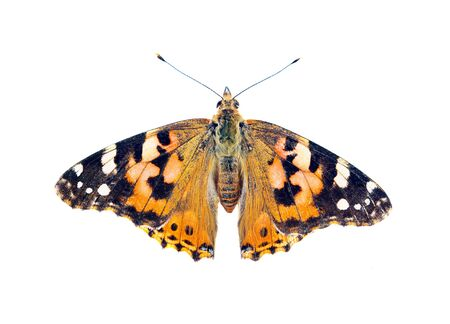 painted lady butterfly isolated on white 版權商用圖片