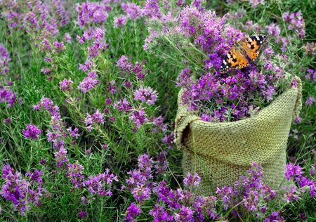 thyme. collected thyme in a pouch on a flowering field. collecting herbs. alternative herbal medicine. cold and flu remedy. carpet of flowers