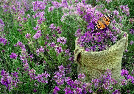tymianek. zebrał tymianek w woreczku na kwitnącym polu. zbieranie ziół. alternatywna medycyna ziołowa. środek na przeziębienie i grypę. dywan kwiatów