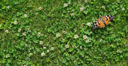 grass clover texture background. top view. butterfly painted lady sitting on a clover lawn