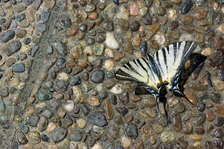 Pebble texture background. Colorful pebble stone texture on the road. Pavement of small stones. Beautiful butterfly sitting on wet pebbles. After the rain. Banco de Imagens