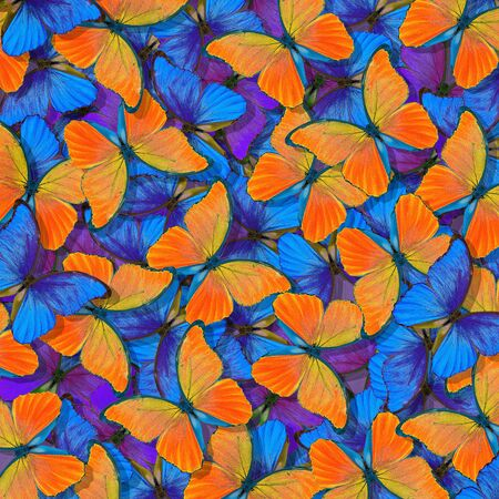 morpho butterfly texture background. blue and orange natural abstract background. butterfly wings in flight Stockfoto