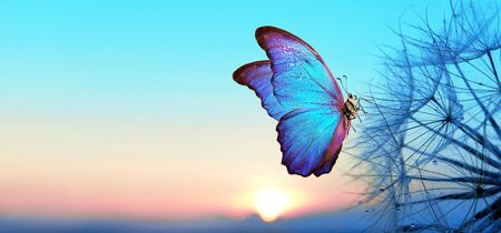 Natural pastel background. Morpho butterfly and dandelion. Seeds of a dandelion flower in droplets of dew on a background of sunrise. Soft focus. Copy spaces. Stock Photo