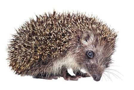 hedgehog isolated on a white background 写真素材