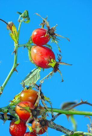 ripe rosehip berries. red rosehip berries on a background of blue sky. dog-rose. cold and flu remedy