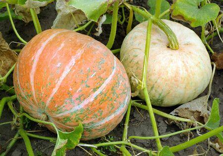 ripe pumpkins in the garden. Reklamní fotografie