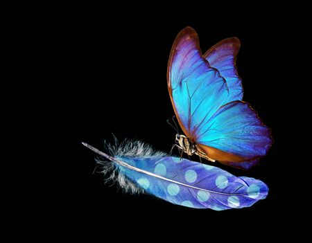 Lightness and weightlessness. Morpho blue beautiful butterfly on a blue bird feather. Bird feather isolated on black. Imagens