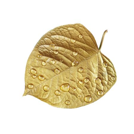 water droplets on the leaf. gold leaf in drops isolated on a white. close-up