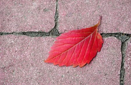 fallen autumn leaf on the pavement