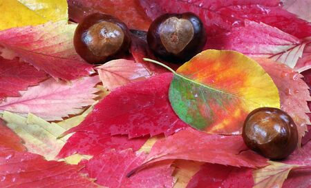 Fallen autumn leaves. Autumn background. Bright multicolored autumn leaf and chestnut fruits.