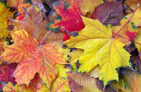 bright colorful autumn maple leaves texture background. top view Standard-Bild