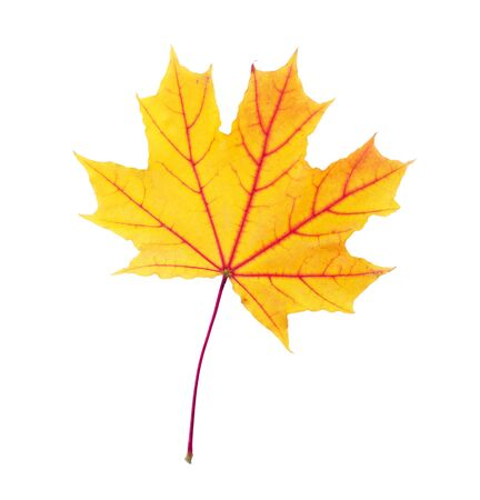yellow autumn maple leaf isolated on a white