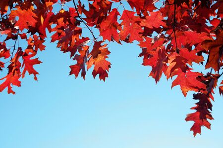 bright red autumn oak leaves against blue sky. colorful autumn background. red oak branch. copy spaces Stock Photo