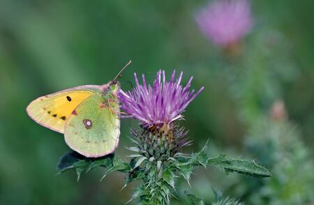 beautiful yellow butterfly on a flower. purple milk thistle flower in bloom. Saint Mary's thistle. Male pale clouded yellow butterfly close up.