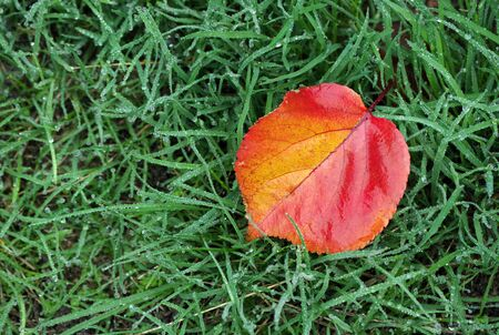 bright red fallen leaf on green grass. Apricot leaf on grass in droplets of water. green grass after rain