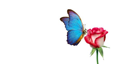 Morpho butterfly sitting on a rose isolated on white. red roses and a bright blue butterfly close up. decor for greeting card. copy spaces. Stock fotó
