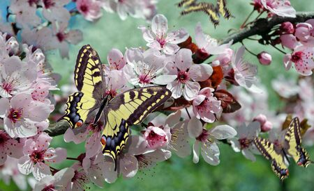 blooming sakura in the garden. colorful butterfly on a branch of blooming sakura. butterflies flying in the blooming garden. Swallowtail butterfly on cherry blossoms