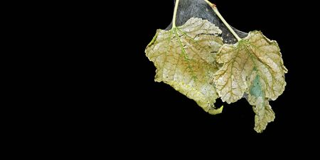 dry leaves on the web. wilted mulberry leaves. dry leaves on a black. copy space Stockfoto