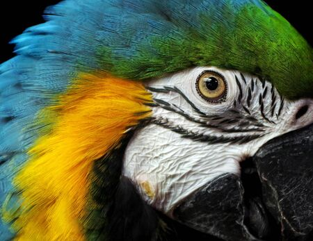 Macaw parrot portrait isolated on black. bright tropical parrot. head of a colorful exotic bird. Stock Photo