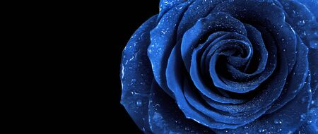 blue rose in water drops isolated on a black background. 2020 trend color. close up. copy space Banco de Imagens