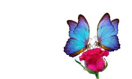 Morpho butterfly sitting on a rose isolated on white. red roses and a bright blue butterfly close up. decor for greeting card. copy space Stok Fotoğraf