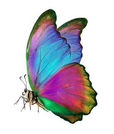 bright colorful morpho butterfly isolated on white. bright colorful butterfly in flight. beautiful multicolored butterfly Stok Fotoğraf