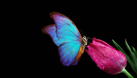 Beautiful blue morpho butterfly on a flower on a black background. Tulip flower in water drops isolated on black. Tulip bud and butterfly. copy spaces.