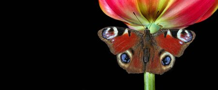 bright colorful peacock butterfly on a flower. butterfly sitting on a tulip. copy space