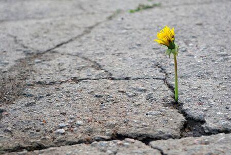 the triumph of life. dandelion in the crack of asphalt. selective focus. copy space