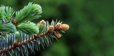 young branches of a spruce tree. blooming spruce. spruce in spring. close up. selective focus. copy space 版權商用圖片