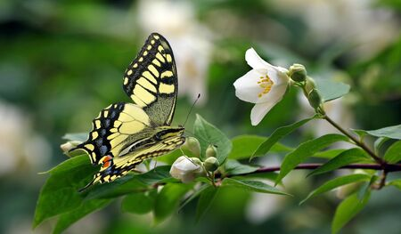 Jasmine blooming in the garden. bright colorful swallowtail butterfly on jasmine flowers